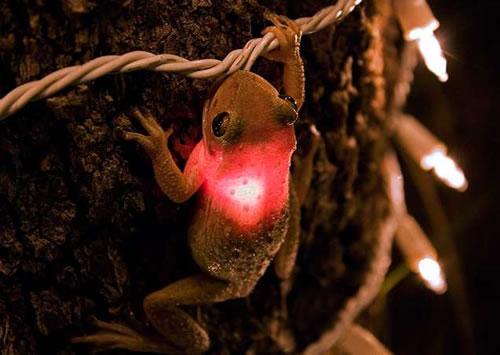 tree-frog-christmast-light
